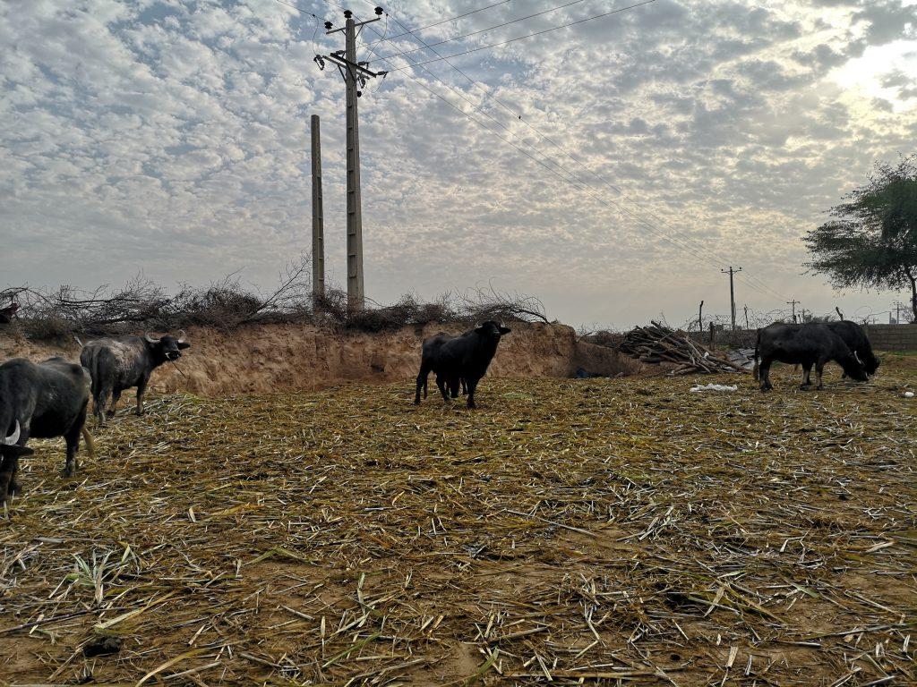 Schuschtar-Tipps-Shushtar-Büffel