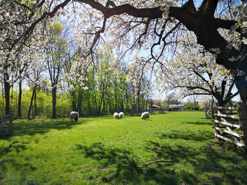 Schafe an der Windmuehle Britz