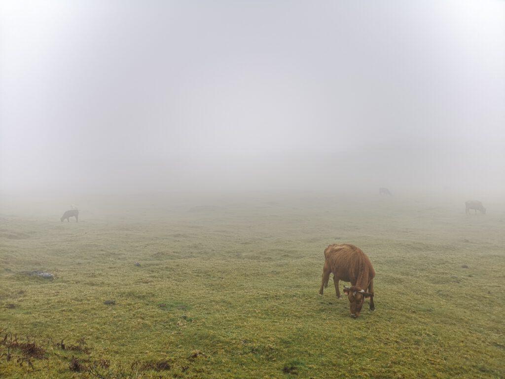 Kuehe-Madeira-Feenwald