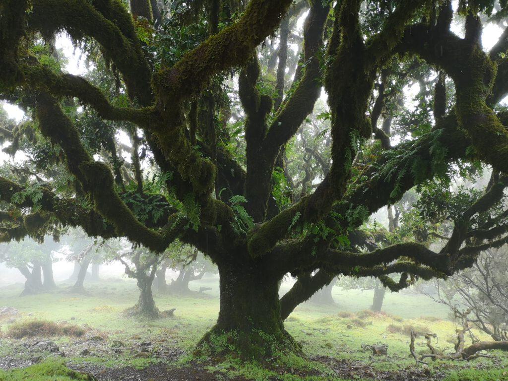 Madeira-Tipps-alter-Lorbeerbaum